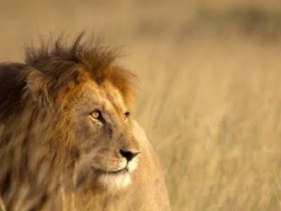 Lion tried to escape